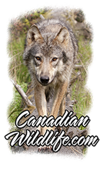 Welcome to the Canadian Wildlife website